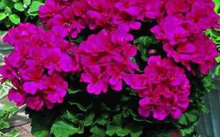 Комнатные растения светолюбивые и неприхотливые